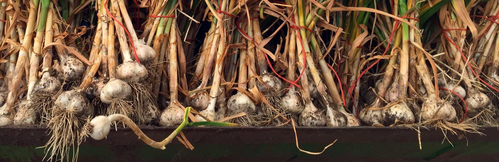 Lots of Garlic