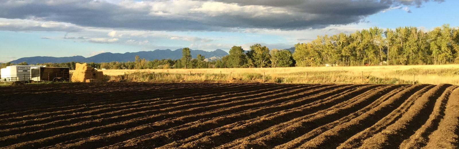 Brown Garlic Field
