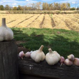 Georgia Crystal - Seed Grade Garlic