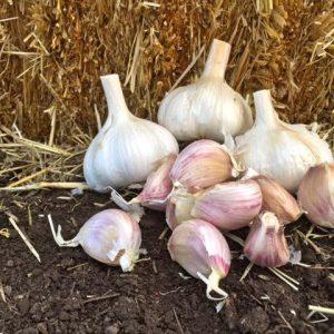 Leningrad Seed Garlic